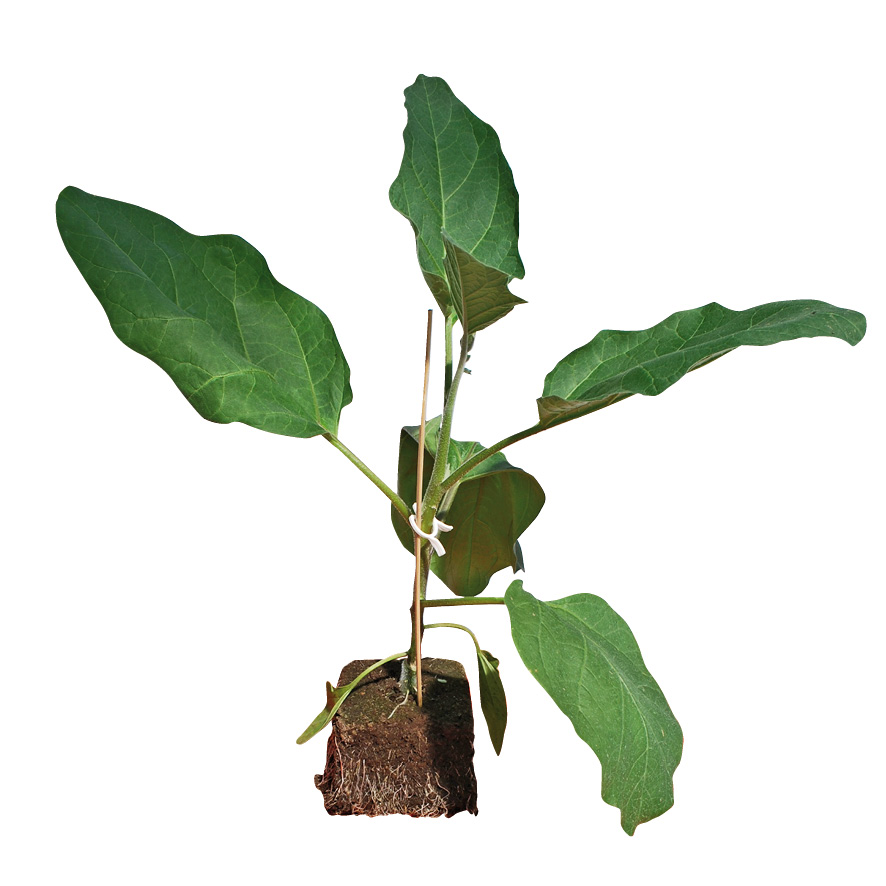Plant aubergine-GR-M10-ST5
