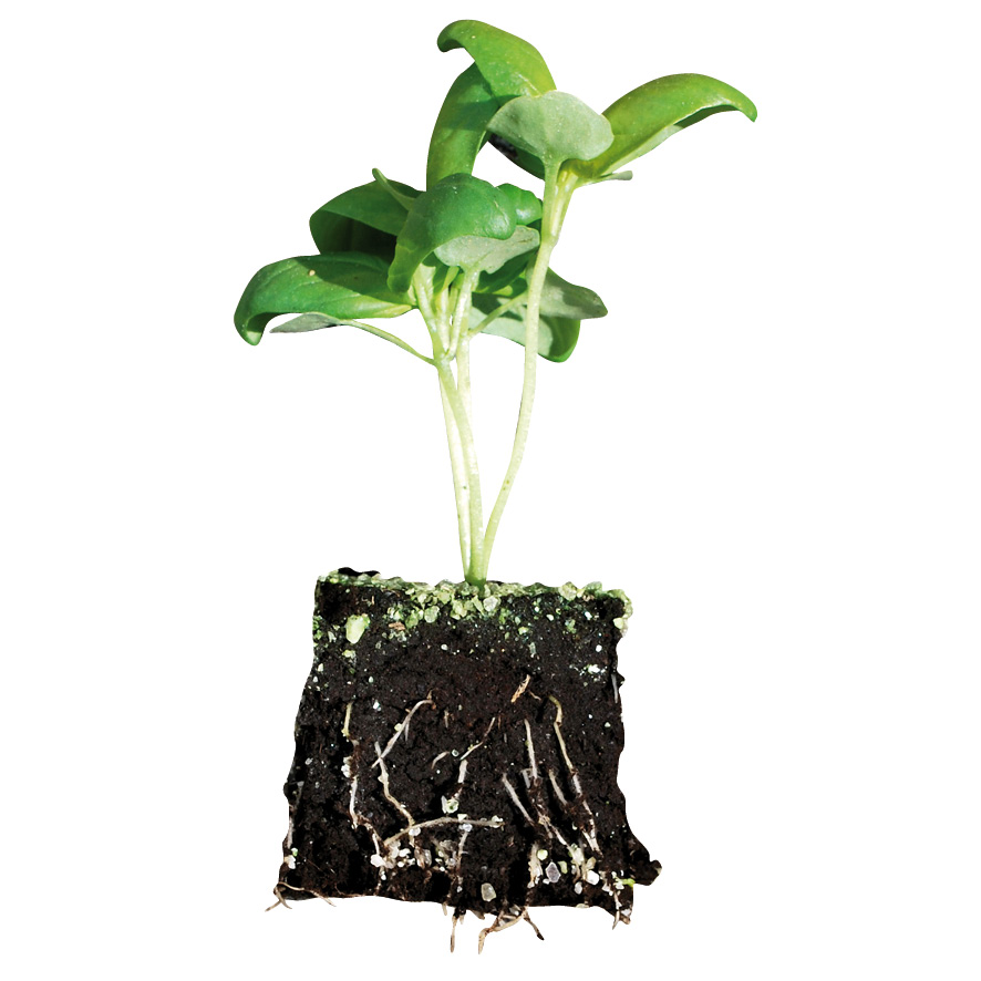 Plant basilic-M4