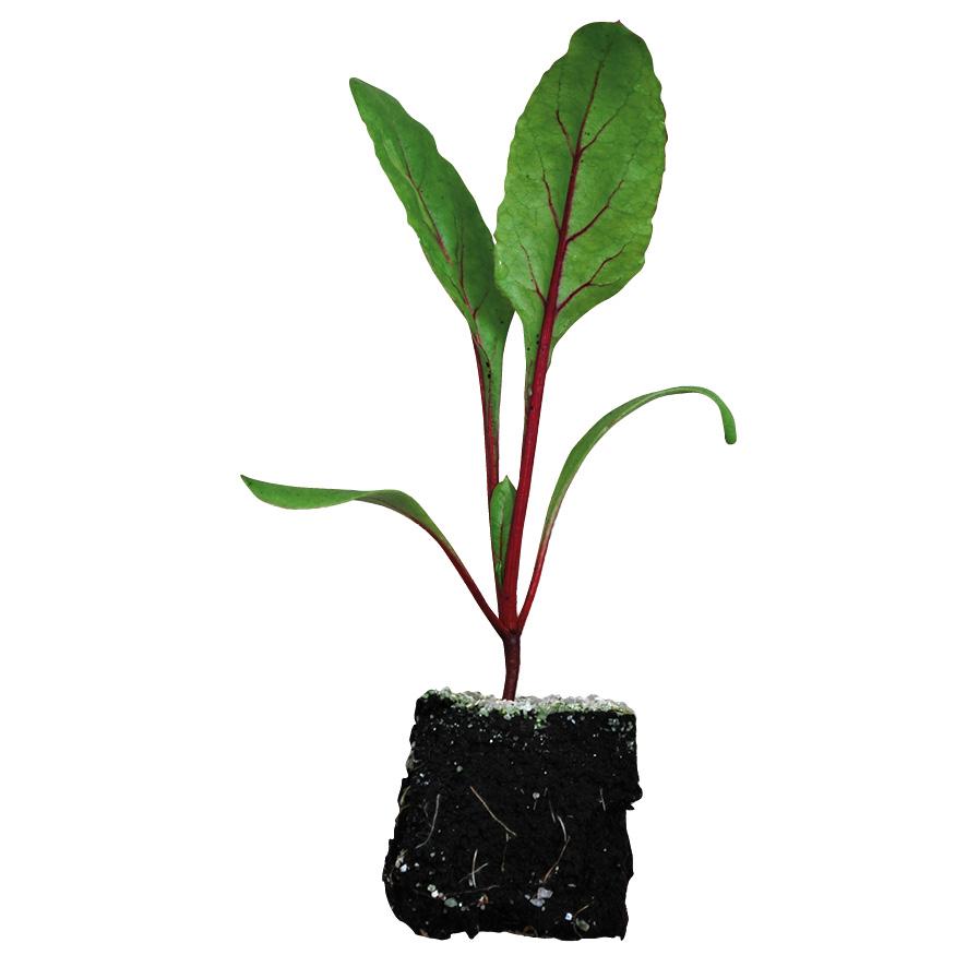 Plant betterave-M4