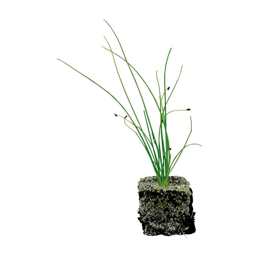 Plant ciboulette-M4