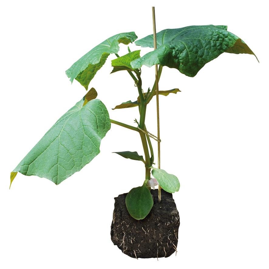 Plant concombre-GR-M10-ST6