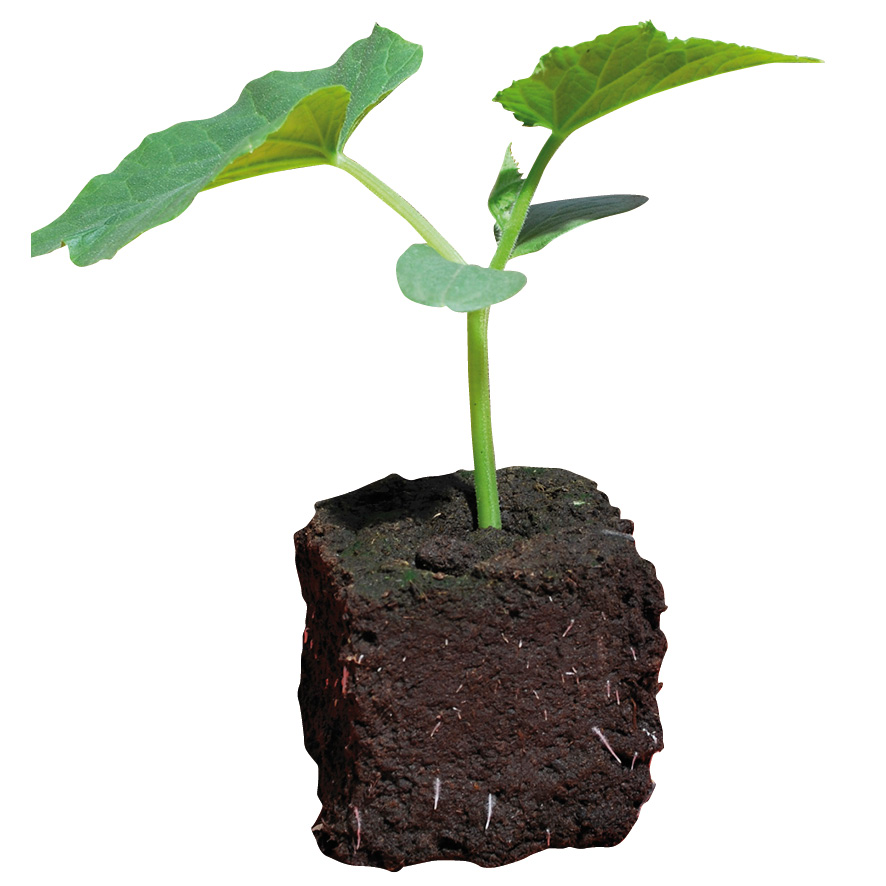 Plant concombre-NG-M7.5-ST2