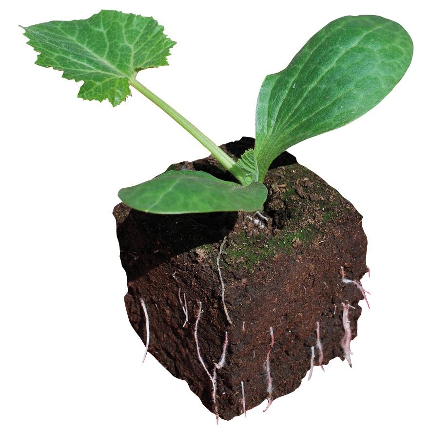 Plant courgette-M7.5