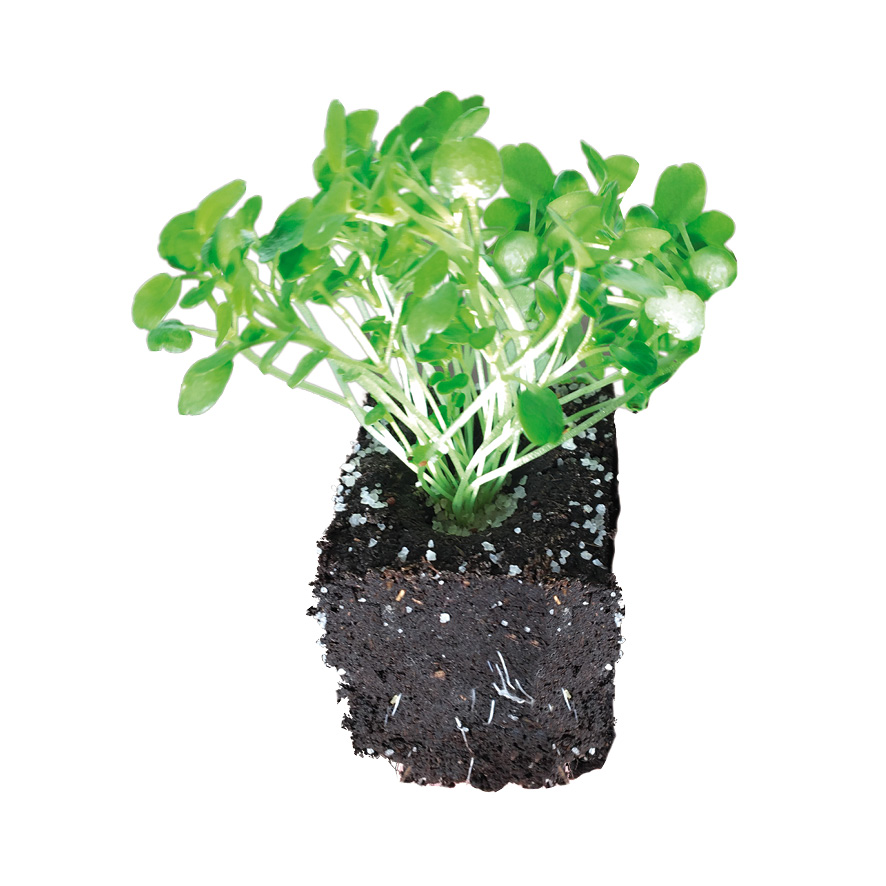 Plant cresson-M4
