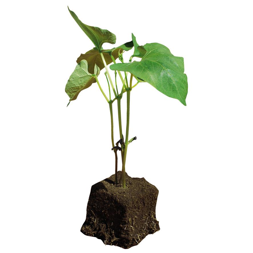 Plant haricot-M7.5