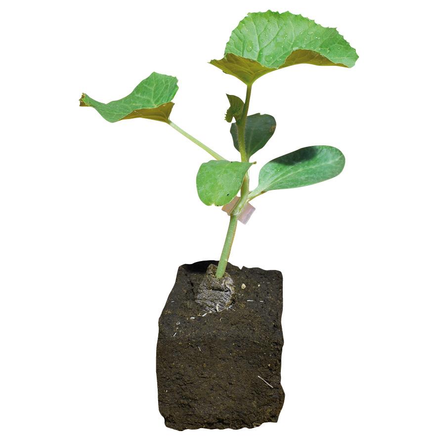 Plant melon-pastèque-GR-M7.5-ST3