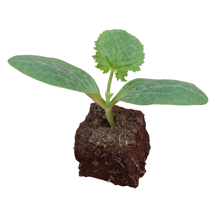 Plant melon-pastèque-NG-M7.5-ST2