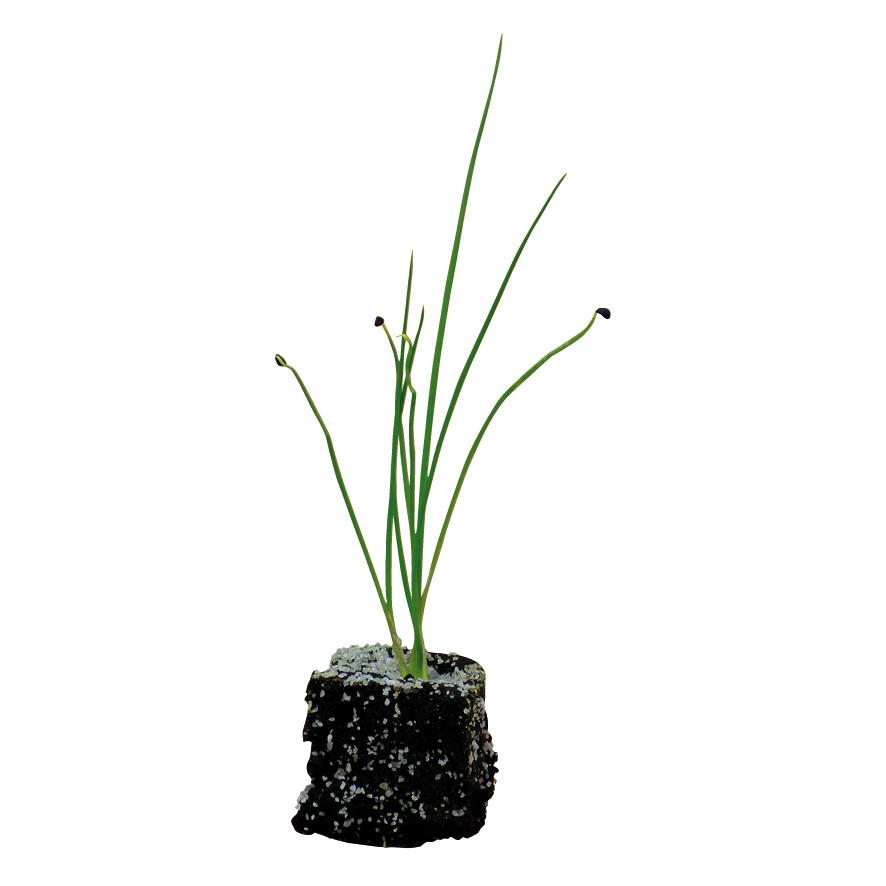 Plant oignon-M4