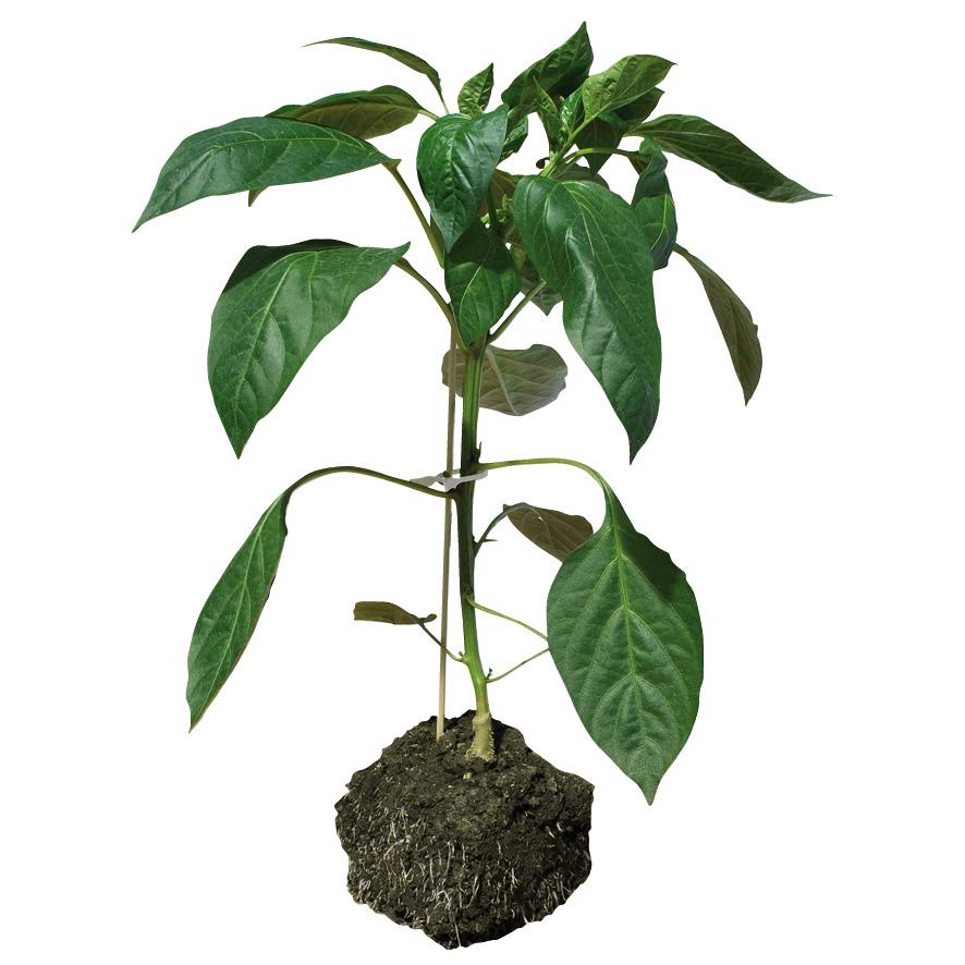 Plant piment-poivron-GR-M10-ST5