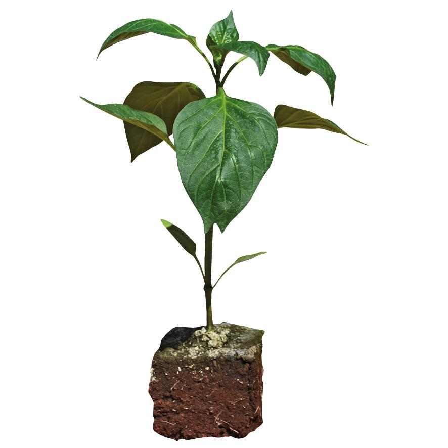 Plant piment-poivron-NG-M7.5-ST2