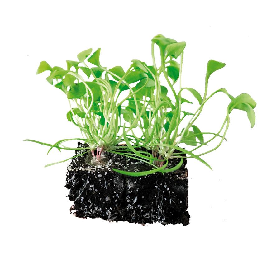 Plant pourpier Clayton de Cuba-M4