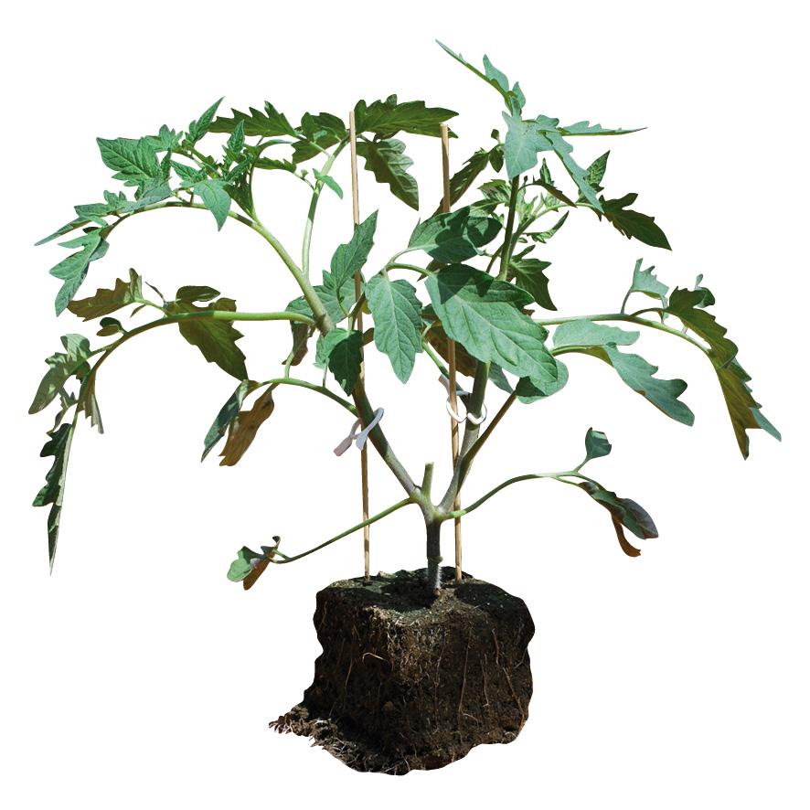 Plant tomate-GR-M10-ST6