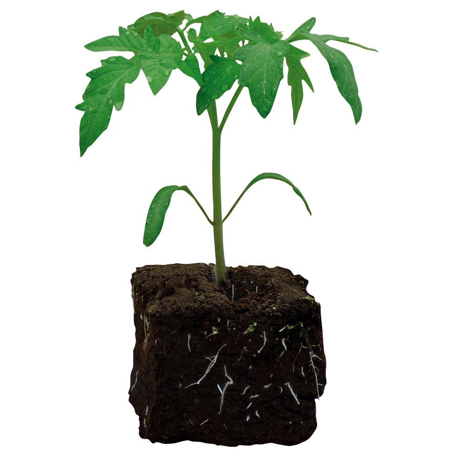 Plant tomate-NG-M7.5-ST2